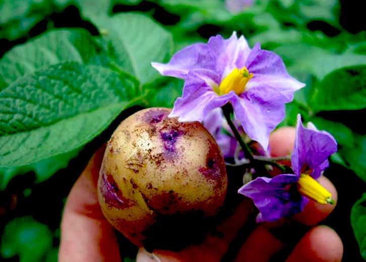 картофельные цветы лечение