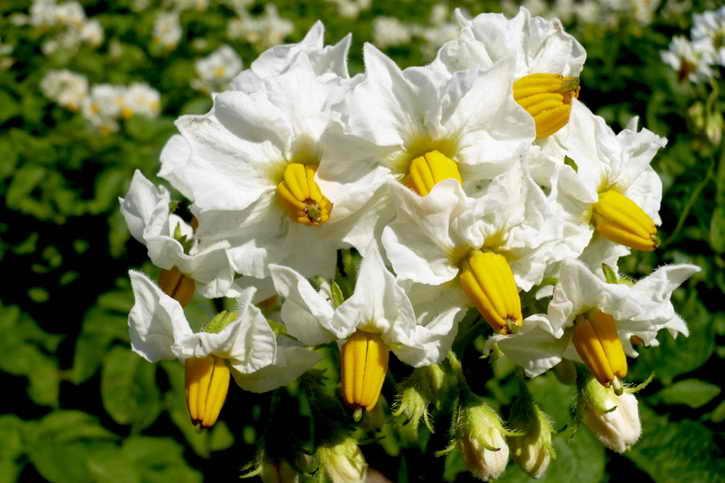 картофельные цветы