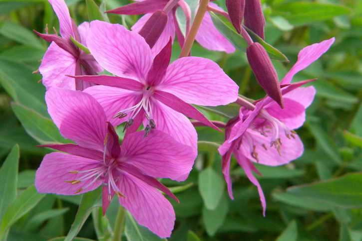 цветы кипрея