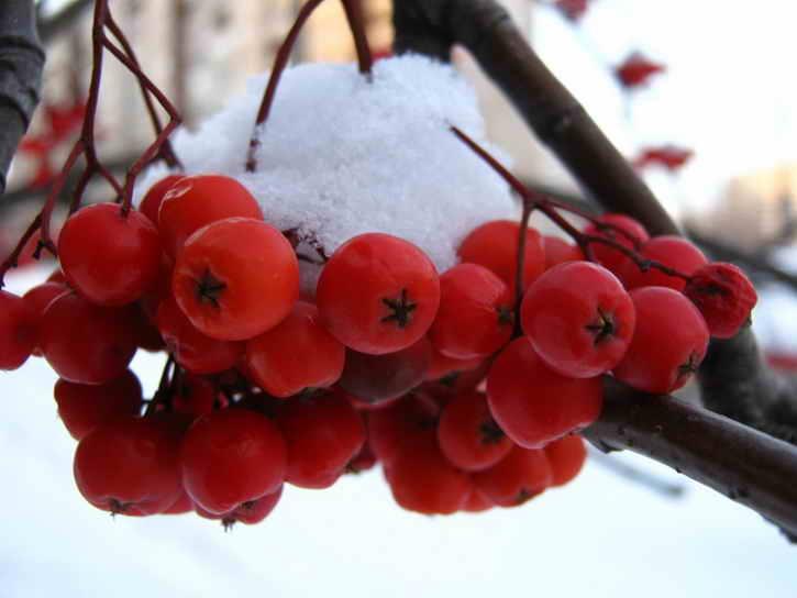 красная рябина под снегом