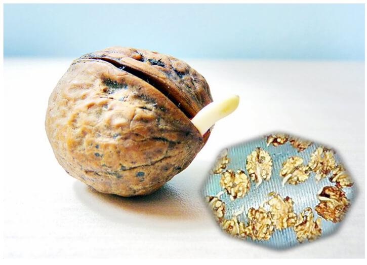 грецкие орехи с проростками