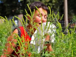 аллергия на амброзию у женщины