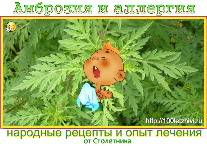 амброзия и аллергия народные рецепты